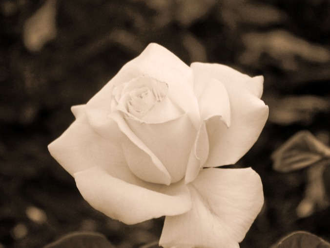 Arizona, sepia, rose