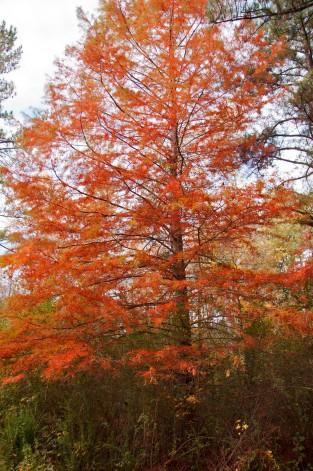 orange cyprus tree in Alabama