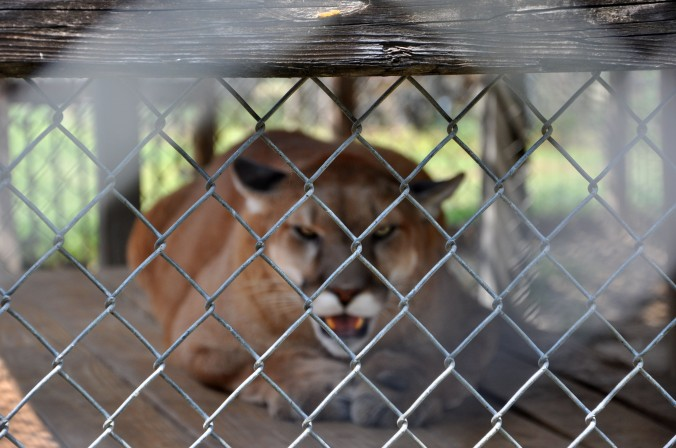 mountain lion behind fence