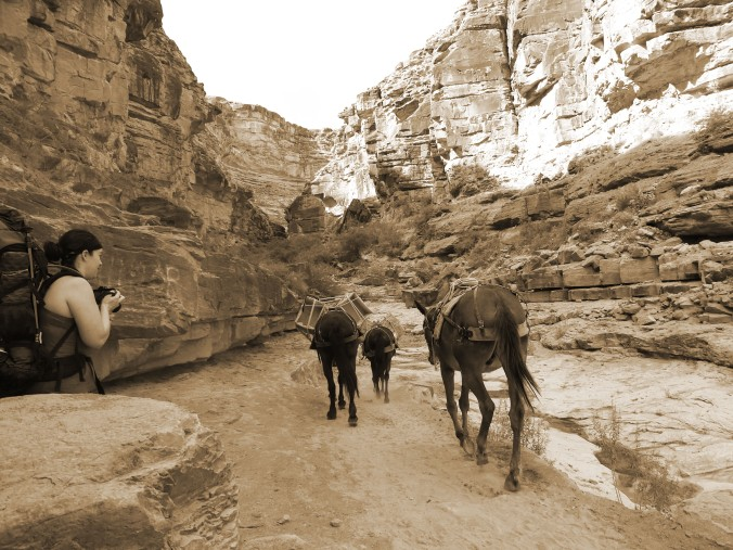 Taking photos of horses, Havasupai Arizona, sepia