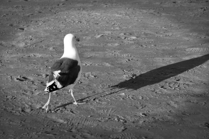 back of seagull, black and white