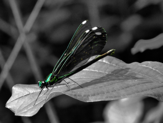 dragonfly on leaf, black and white