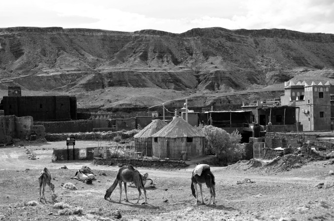 camels, Morocco, black and white