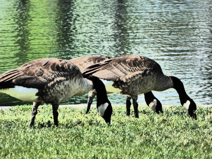 Canadian geese near lake