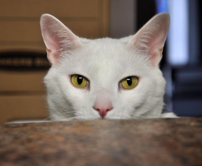 Oxford, white cat