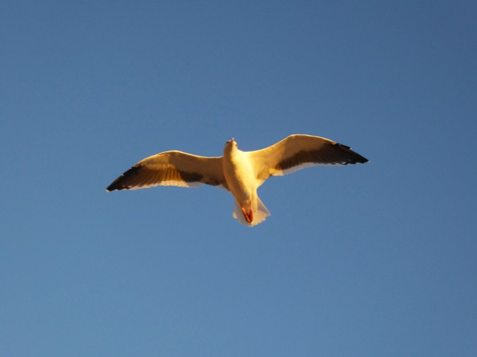 seagull flying against blue sky, California