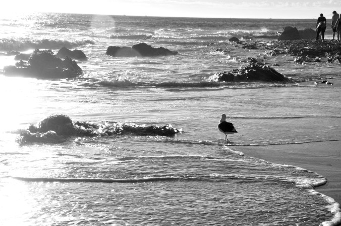 seagull walking along beach at sunset, black and white