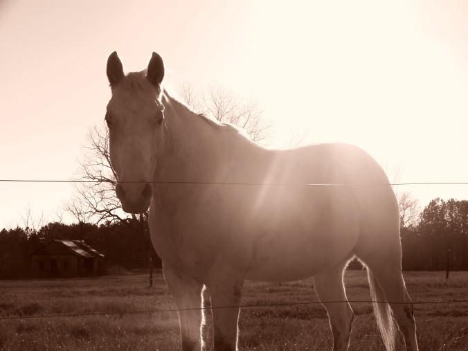 sepia white horse in sunflare