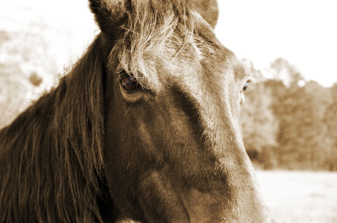 sepia horse head close-up