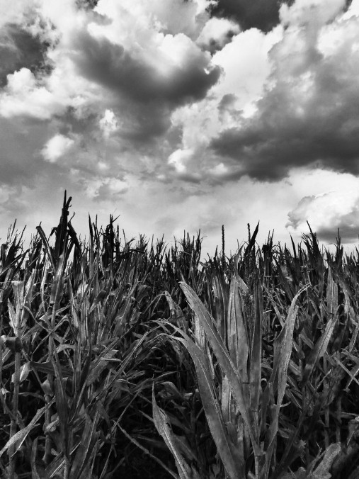 black and white cornfield