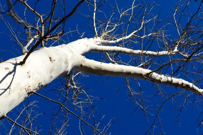 white tree trunk against blue sky
