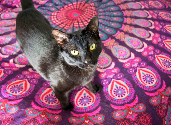 black cat on purple blanket