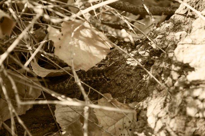 hidden lizzard, arizona