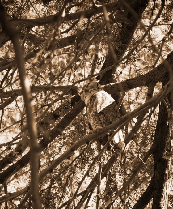 owl in tree, sepia, arizona