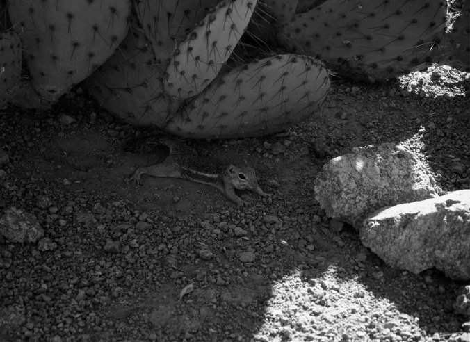 hiding squirrel, black and white, arizona