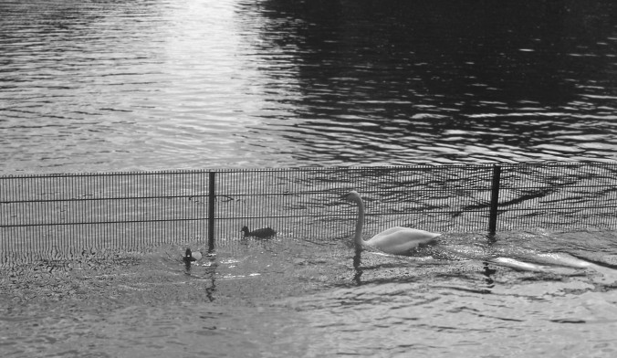 black and white fence with swan