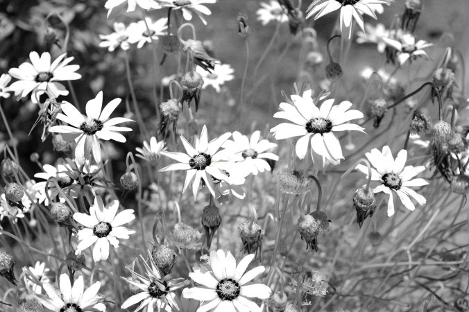 black and white, California, wildflowers, flowers