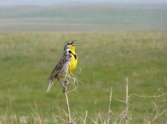 Badlands National Park, South Dakota, bird