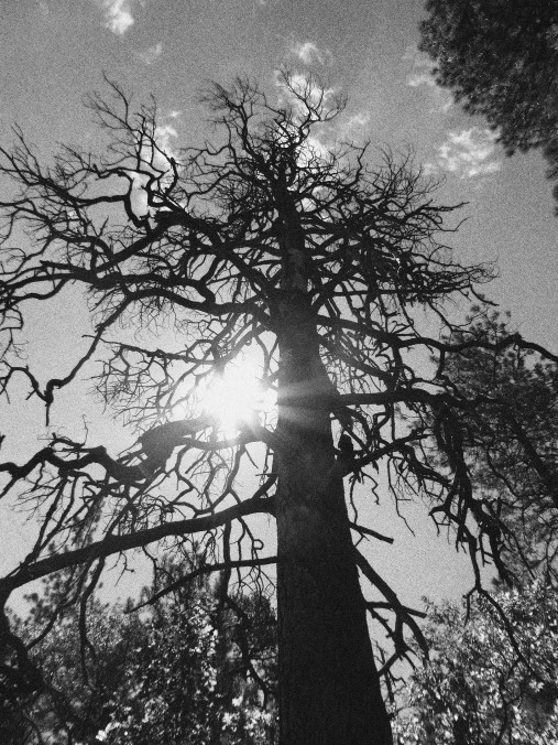 black and white tree with sun flare, Arizona