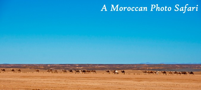 camels in the Sahara Desert, Morocco