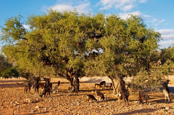 Morocco_Goats