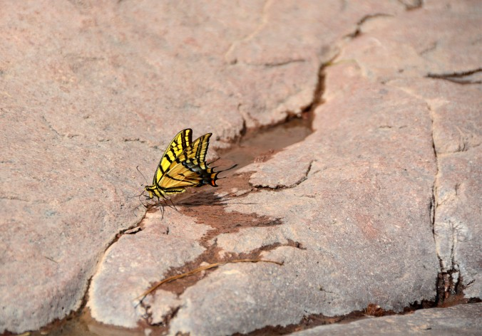 Yellow butterfly, Arizona