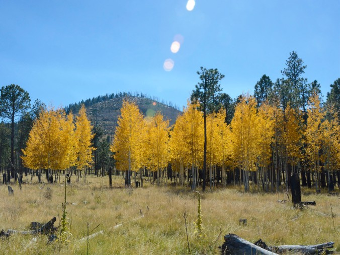 Aspen Trees, Flagstaff Arizona